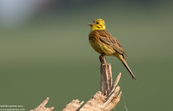 Bruant jaune - Yellowhammer