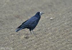 Corbeaux freux