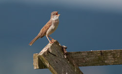 Fauvette grisette - Common Whitethroated