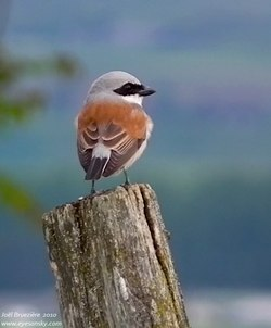 Pie-gri�che �corcheur - Red-backed Shrike